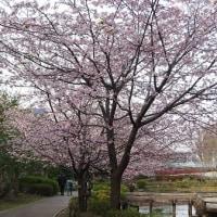 春爛漫の薬師池公園