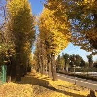 昭島市の黄葉