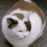 平成29年元旦 あなたはどんな猫で猫が好きになりましたか?