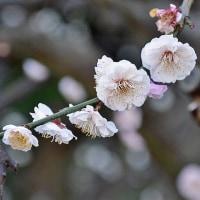 ウメ 「花香実」