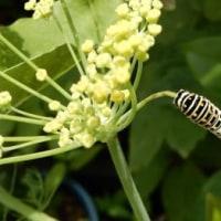 フェンネルと蝶の幼虫