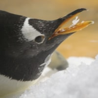 ジェンツーペンギンのおやつ