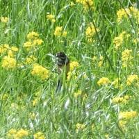 菜の花の中から、ホオアカがのぞいていた。
