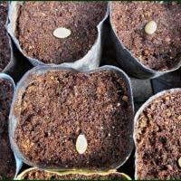 植え替え出来る大きさに育った苗を、本日の午後から畑へ植え替えて・・・