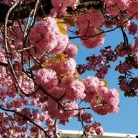 八重桜が満開に