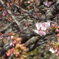 川津桜の咲き乱れる庭in徳島