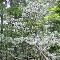 金沢の春2017 兼六園 ①