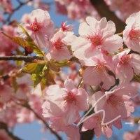 尾張瀬戸で桜を撮影