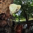 オオムラサキ、カブトムシ  ぐんま昆虫の森