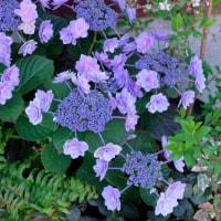 雨が降ったとはいえ、紫陽花はちょっと早いのでは・・。主計町。