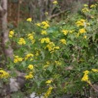 アワコガネギク(泡黄金菊)