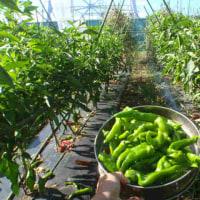 夏野菜の収穫量が激減になってきました