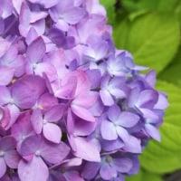 紫陽花の季節に四つ