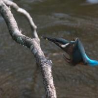 カワセミ:ビオトープに幼鳥2羽飛来