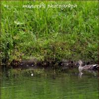 木曽川水園 水鳥