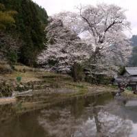 飛騨の苗代桜