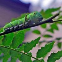山椒の木に幼虫