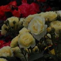 種松山のバラ