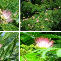≪合歓の木・ネムノキ≫ピンク