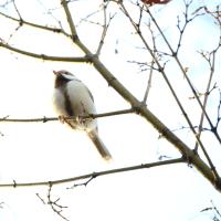 岡崎公園の白いシジュウカラ その61