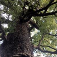 大きな楠木さんと三本足の八咫烏