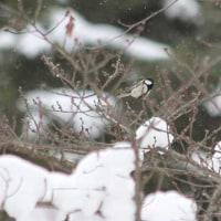 鳥撮り日記ーカケス他