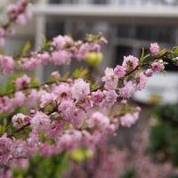 せっかくの桜なのに・・・・