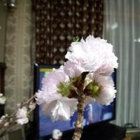 松前の室内で桜は咲いていました