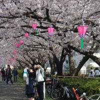 鶴見川の桜まつり