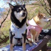 松田に桜を見に行った 1  ワンコ編