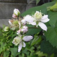 どくだみの花~総苞片