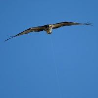 ミサゴの不思議な飛行写真(その5) (Photo No.13981)