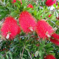 イオンモールでクローバーとブラシの木~白と赤~