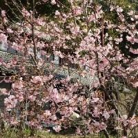 うっとり!満開の河津桜。キウイフルーツ「ゴールデンキング」の大苗を2本追加。