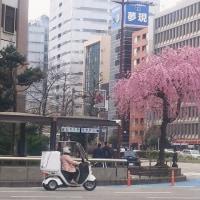 今年の桜三題