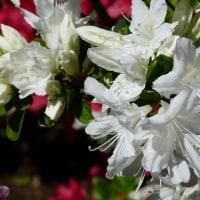 多聞院の花2017.4.23