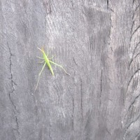 まちで見かけた昆虫 ショウリョウバッタ幼虫