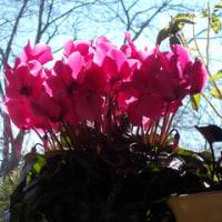 今年選んだシクラメンの花の色は何色?