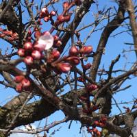 庭の桜と南高梅の状況です。