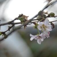 四季桜 10.21開花