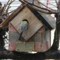 2017年春:シジュウカラの巣作り順調?