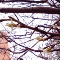 プルーンの花が咲いてますぅ~w( ̄Д ̄;)w