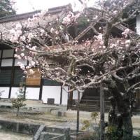 瀬戸市雲興寺の八重の紅梅