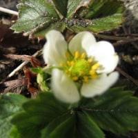 庭の春探し・・・お腹がつかえて苦しい写真撮りですがキクザキイチゲが咲きました。