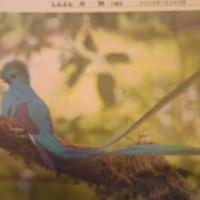 火の鳥のモデル 青い鳥ケツァール(写真)/ あさのあつこ赤旗インタビュー「グラウンドの空」連載終えて