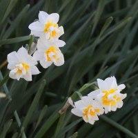早春の花 和水仙