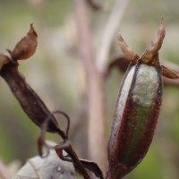 江尾公園の自然:ヒレタゴボウの枯れ実