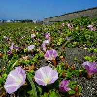 『町の花』 ハマヒルガオ