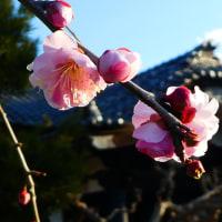 『梅たより』 妙輪寺