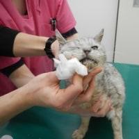 ルミちゃん、口内炎の痛み止め治療